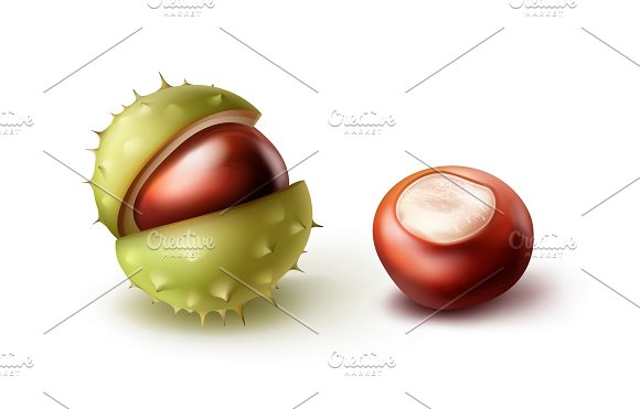 Two horse chestnuts in Illustrations