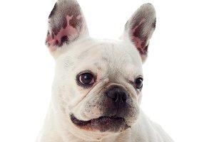 White funny dog