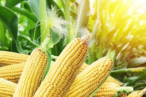 Ears of maize or corn