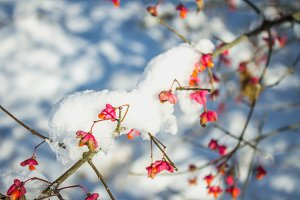 Red berries on the branch during sunset, European spindle, Euonymus europaeus with snow.