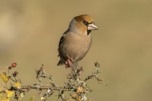 Coccothraustes coccothraustes hawfinch