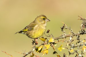 Chloris chloris, european greenfinch
