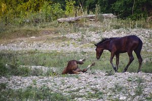 Horses walk in line with a shrinking river. The life of horses