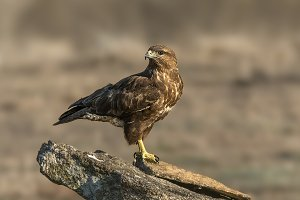 buteo buteo, Common Buzzard