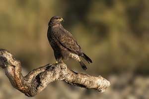 buteo buteo Common Buzzard