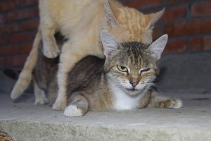Mating domestic cats