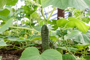 Seedlings cucumbers. The cultivation of cucumbers in greenhouses