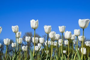 Better tulip flowers against the blue sky. A flower bed with tulips