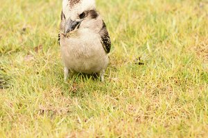 Kookaburra close up outside during t