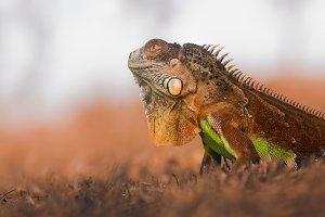 iguana, animal, reptile,