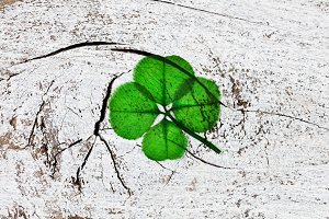 Real Four Leaf Clover for Luck