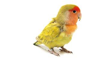 Lovebird colors