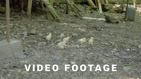 Chickens Running Around The Farm Georgia