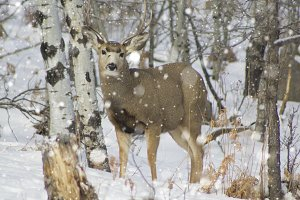 Mule Deer in Snowfall