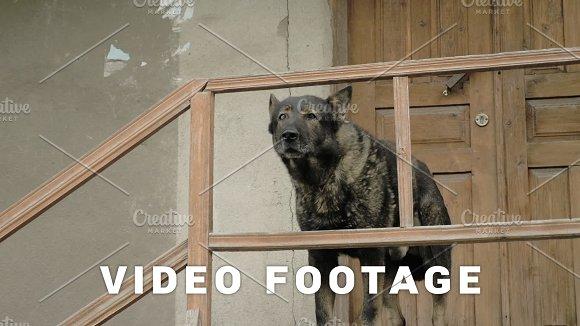 Angry dog guards the house on the steps, Mestia, Georgia