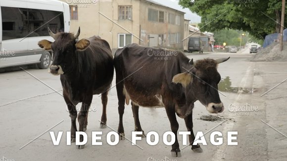 Cow on the street in city - Mestia, Georgia