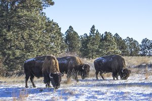 Three Bison Bulls