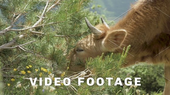 Cow Eats Needle Of Spruce In The Mountains Caucasus Georgia