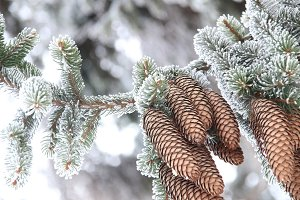 Winter or Christmas background, Fir Branch With Pine Cone covered  hoarfrost.