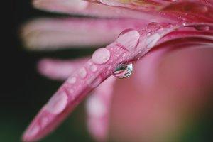Closeup of Raindrops on Pink Petals