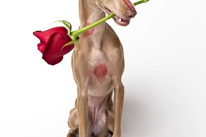 Italian greyhound dog with kisses