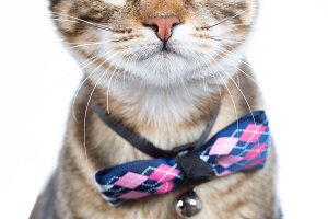 Little cat with bow tie