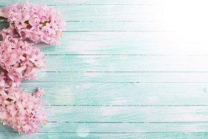 Fresh pink flowers hyacinths