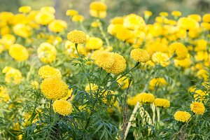 Yellow marigolds flowers in park