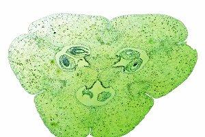 Lily ovary micrograph