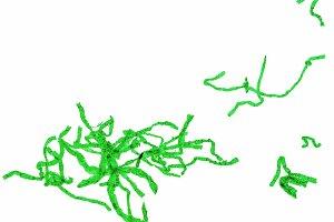 Spirogyra micrograph image