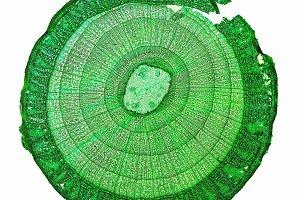 Tilia stem micrograph