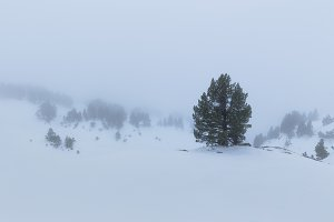 Pine tree in a snowed and foggy land