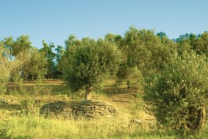 Olive tree with stone wall