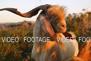 Goat looking at the camera on the background of nature and sunset. Slow motion