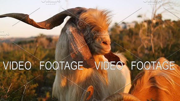 Goat Looking At The Camera On The Background Of Nature And Sunset Slow Motion