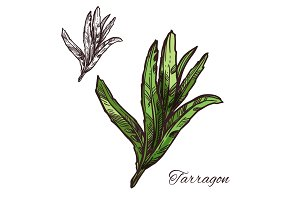 Tarragon, estragon green leaf sketch of spice herb