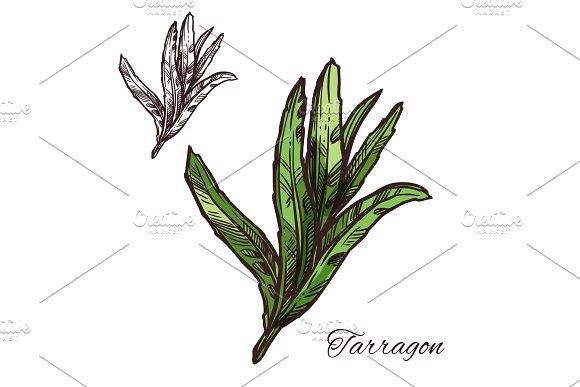 Tarragon Estragon Green Leaf Sketch Of Spice Herb