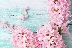 Pink hyacinths flowers