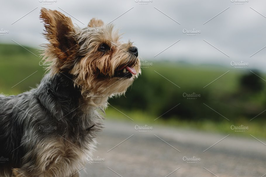 Little Panting Puppy Outdoors Animal Photos Creative Market