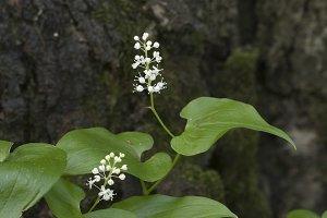 Maianthemum bifolium flowers