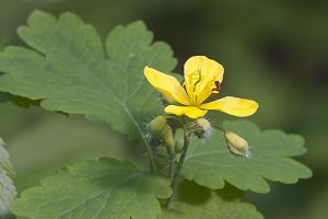 Celandine (Chelidonium majus) flower