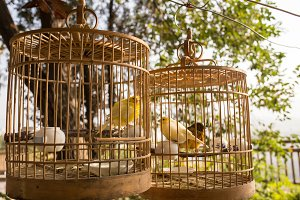 Yellow birds in cages