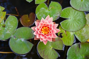 The sacred lotus flower
