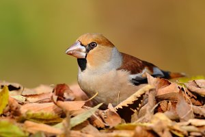 Portrait of a hawfinch over leafs
