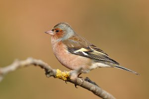 Portrait of a chaffinch perfhed