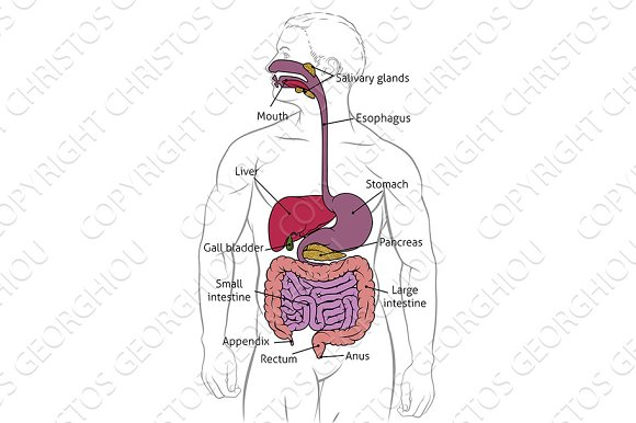 Human Digestive Gastrointestinal Tract Diagram