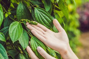 Hands of a young woman on a black pepper farm in Vietnam, Phu Quoc