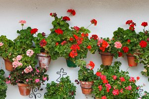 Flowered plants in pots