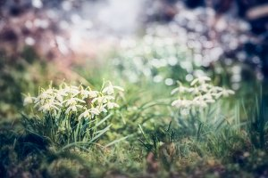 Springtime nature with Snowdrops