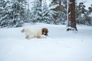 Cute Caucasian Shepard Dog Running in Winter Forest